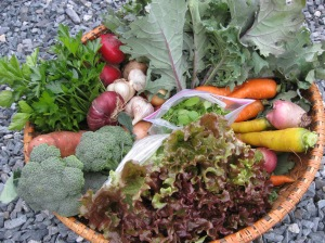Week One Share - head lettuce, kale, micro-arugula, parsley, broccoli, sweet potatoes, multi-colored carrots, multi-colored beets, winter radishes, rutabaga (not shown), garlic, pie pumpkin (not shown), onions and a prepared dish of Southwestern Style Spaghetti Squash
